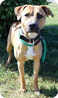 Westampton Nj American Staffordshire Terrier Boxer Mix Meet