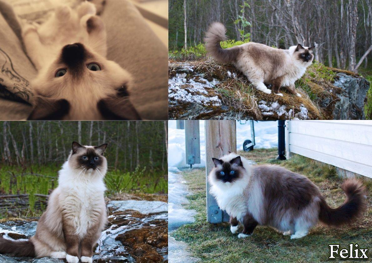 Catsbreedsragdoll Cute Cats Ragdoll Cat Breed Cool Cats