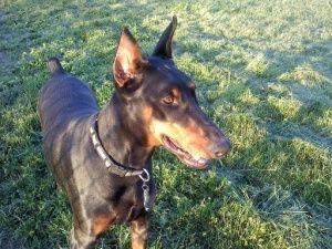 Adopt Caitlin Adopted On Doberman Pinscher Dog Doberman