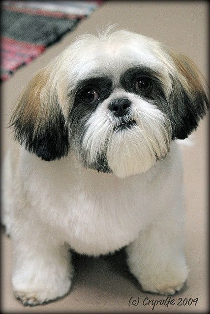 Flickr: The Shih Tzu Hairdressing & Grooming Styles Pool