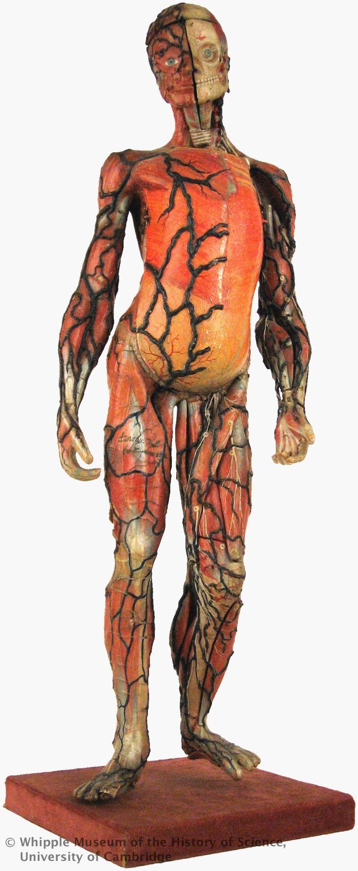 60cm papier-mache model of the human body, 1848, by Louis Auzoux at ...