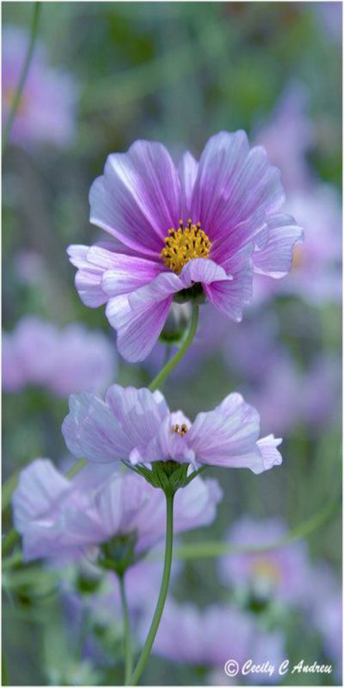 Cosmo Flowers By Cecilyandreuartwork On Deviantart Cosmos Flowers Beautiful Flowers Amazing Flowers