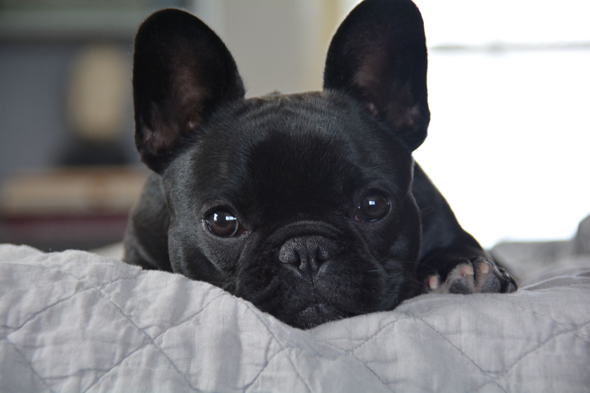 Tarte 6 Months Old French Bulldog French Bulldog Bulldog