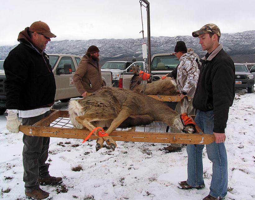 Mule deer decline in utah mule deer deer predator