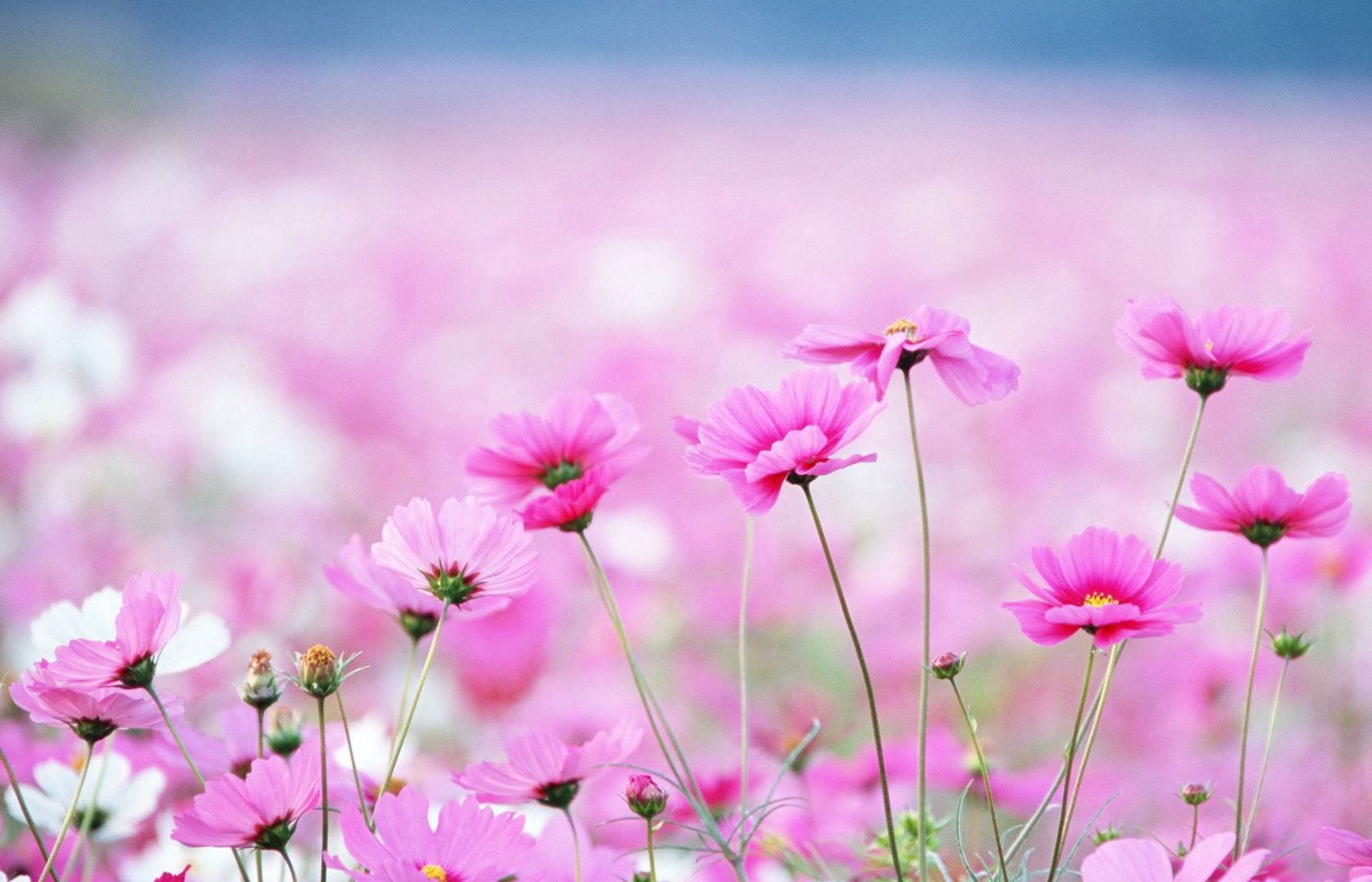 40 BEAUTIFUL FLOWER WALLPAPERS FREE TO DOWNLOAD Resim