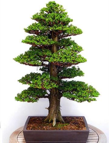 100% True Sacred Japanese Cedar tree bonsai plant fir plant, home gardens #bonsaiplants