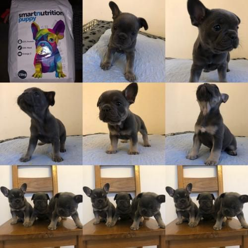 Beautiful French bulldog pups For Sale in Coalville