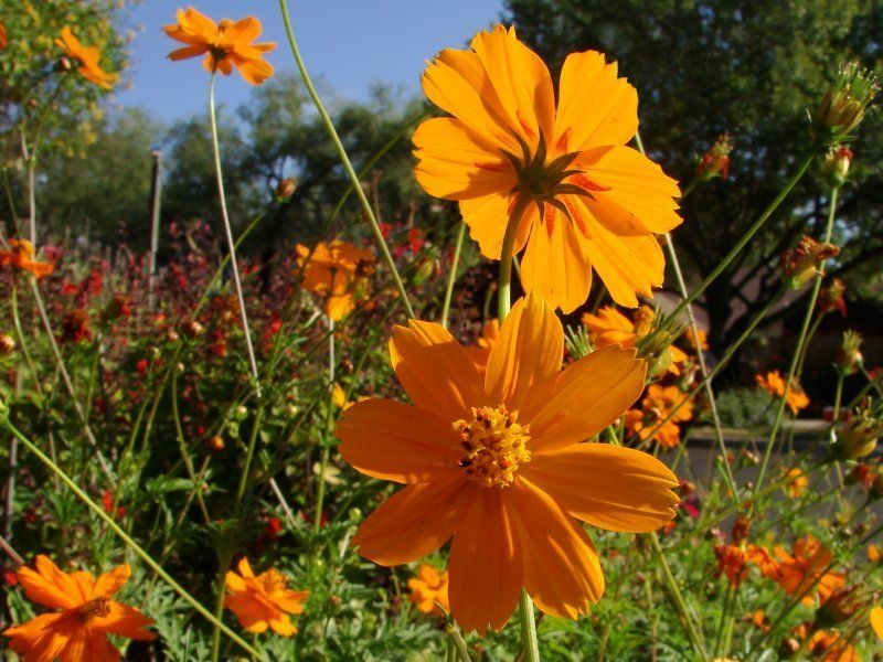 Full Size Picture Of Klondike Cosmos Sulphur Cosmos Orange Cosmos Cosmos Sulphureus Cosmos Flowers Waterwise Garden Cosmos
