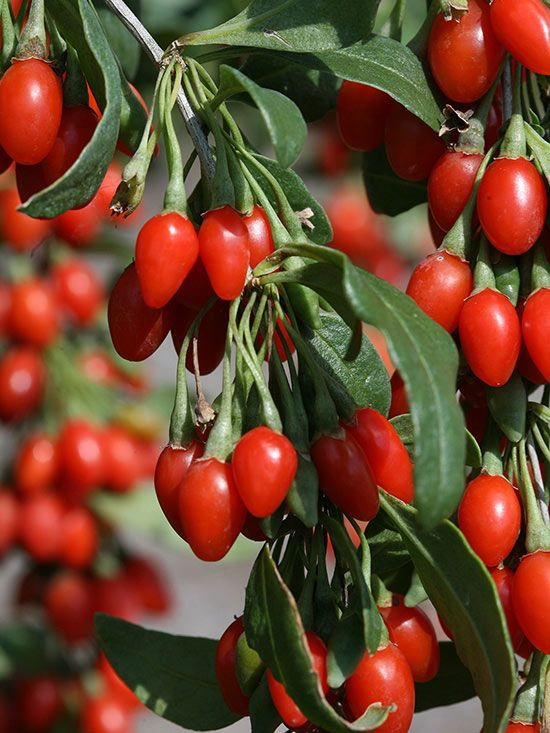 10 Superfoods You Can Grow In Your Backyard Goji Berries