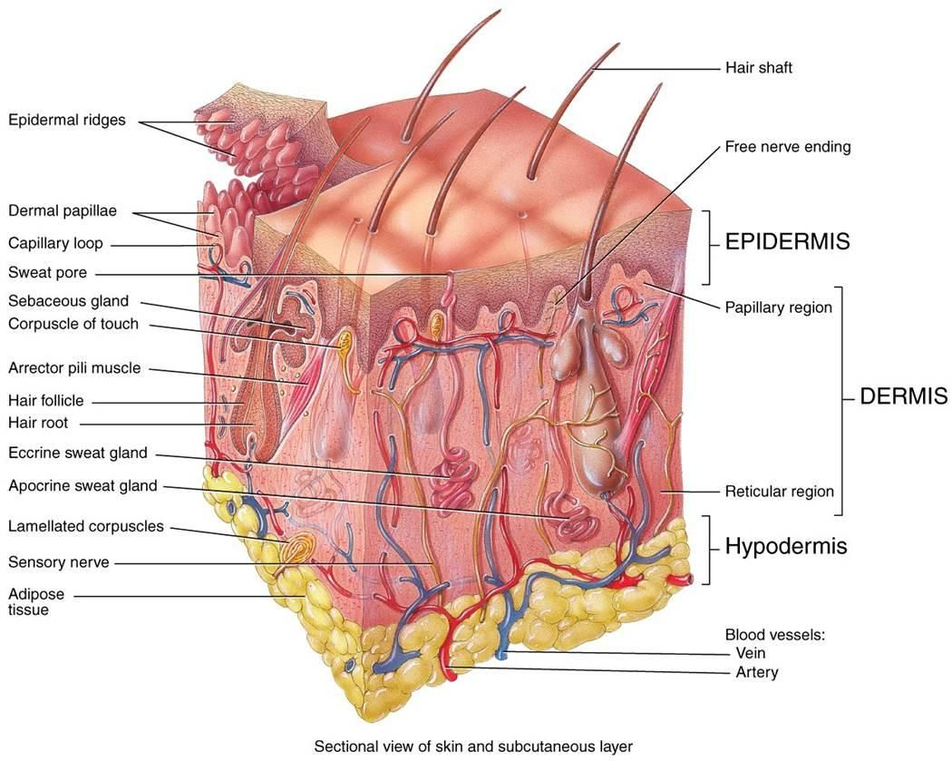 hight resolution of layers of skin diagram google search