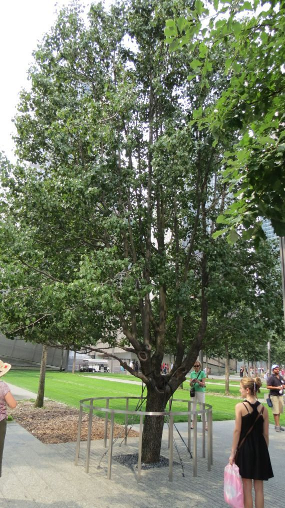 Survivor Tree @ Ground Zero. #groundzeronyc Survivor Tree @ Ground Zero. #groundzeronyc
