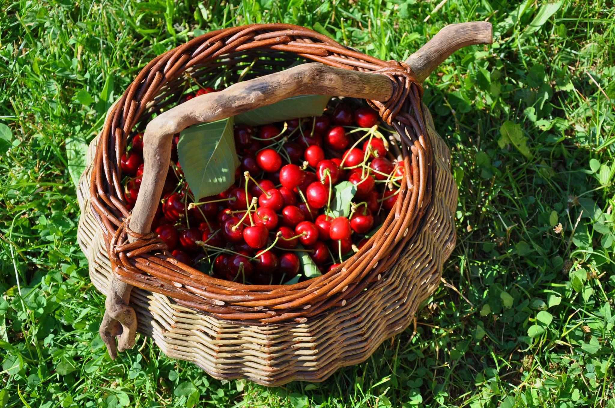 BoisDore, Alsace, France. Come and visit us in the cherry season for homemade clafoutis and jams or freshly picked for breakfast http://www.organicholidays.co.uk/at/3333.htm