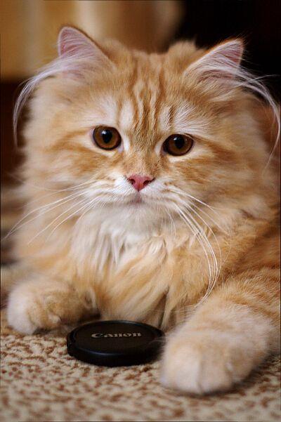 Prefer Canon Katzen Kleine Katzen Susse Katzen