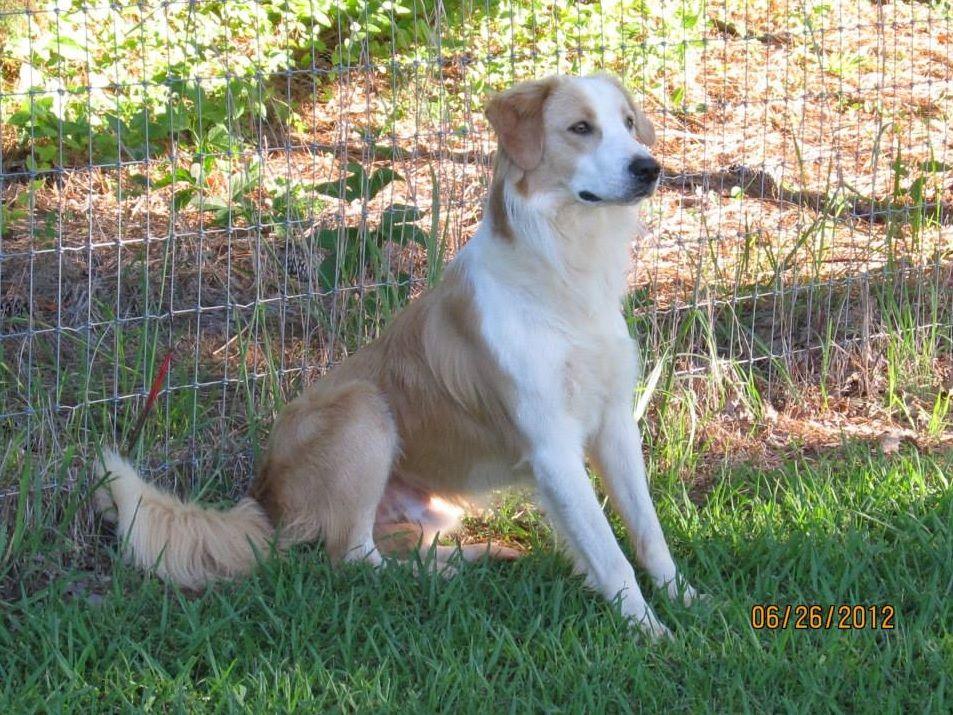 Yukon English Shepherd Clear Sable Puppy Breath Welsh Sheepdog