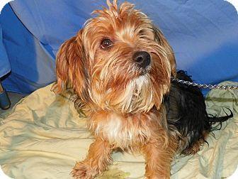 Waldorf Md Yorkie Yorkshire Terrier Mix Meet Tobias A Dog For Adoption Yorkshire Terrier Yorkie Terrier