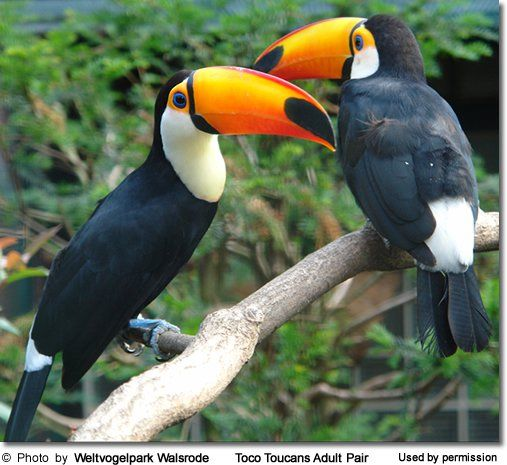toucan trivia unexpected interesting and fun facts about toucans