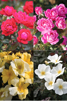 Knockout Roses Bloom All Summer With Little Care Necessary