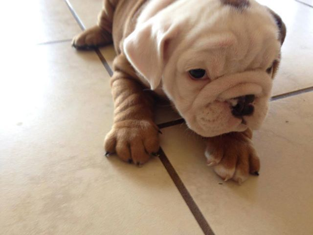 Baggy Bulldogs Bulldog English Bulldog Baggy Bulldogs