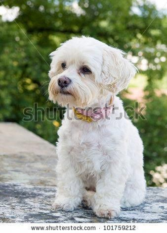 Havanese Intelligent and Funny Havaneser hund