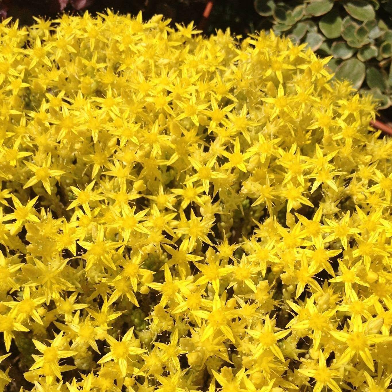 Fiori Tappezzanti Per Aiuole sedum-acre-yellow-queen | trädgård