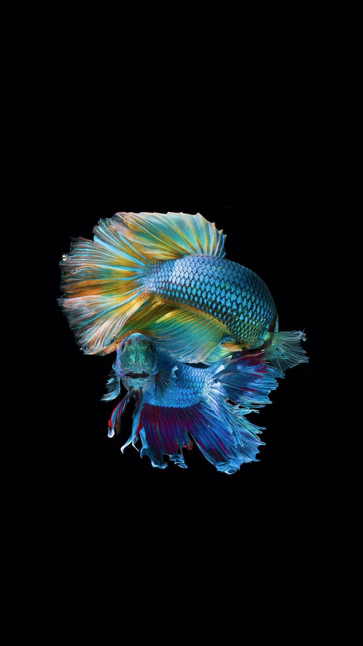 Ultra Vibrant Colour Fish Wallpaper Iphone Betta Fish Fish Wallpaper