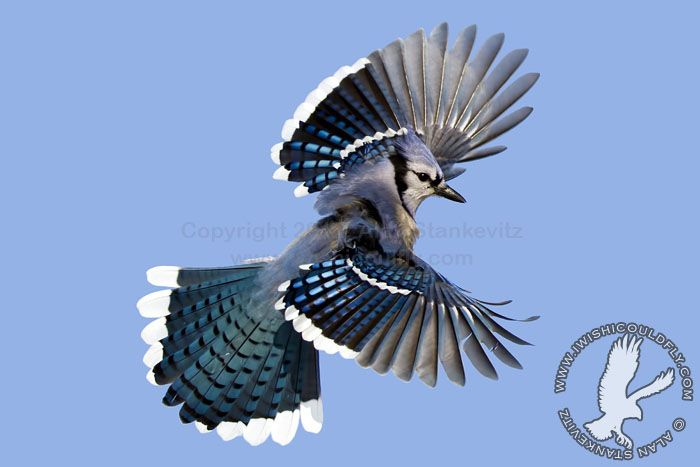 Flying Blue Jay | Animals! | Pinterest | Bird and Animal
