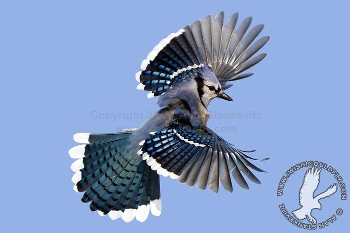 Flying Blue Jay | Animals! | Pinterest | Bird and Animal