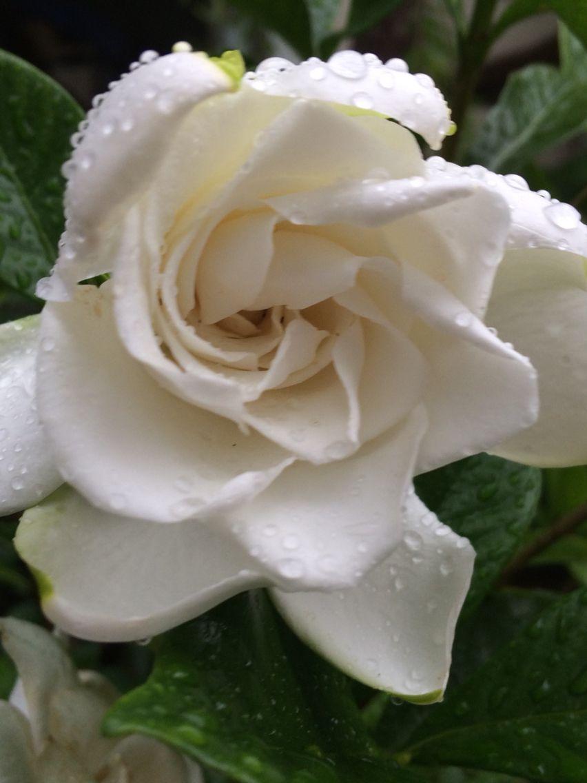 Gardenias Smell Heavenly Beautiful Flowers Pretty Flowers Flower Beauty