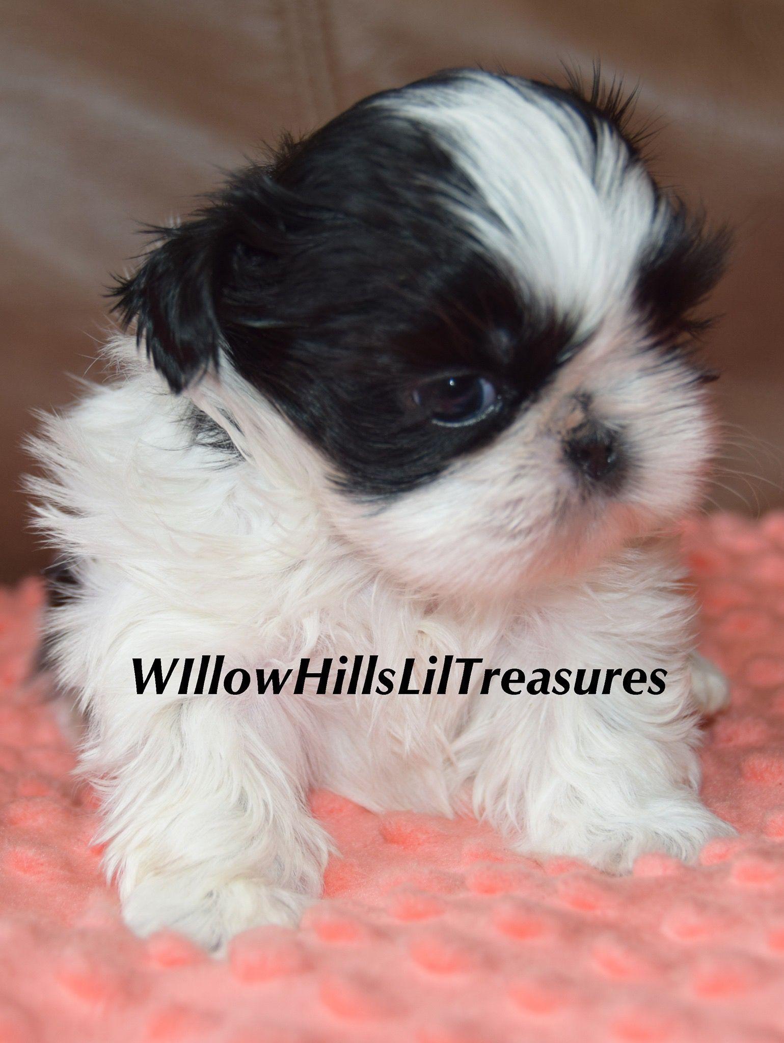 For Sale Shih Tzu Puppy Shih Tzu Puppy Shih Poo Puppies Shitzu