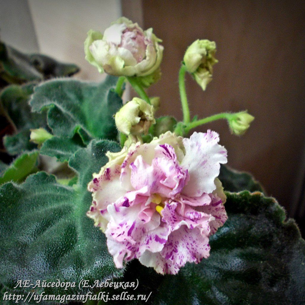 Цветение -2015.http://ufamagazinfialki.sellse.ru/ | 601 фотография
