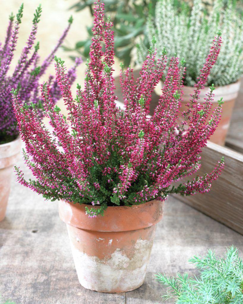 Besenheide Calluna Vulgaris Heidekraut Pflanzen Blumen 99roots Com Mit Bildern Besenheide Heidekraut Blumen Pflanzen