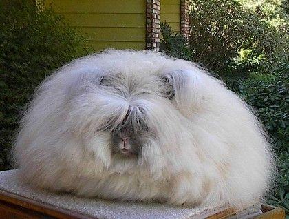 Angora rabbits are the best rabbits