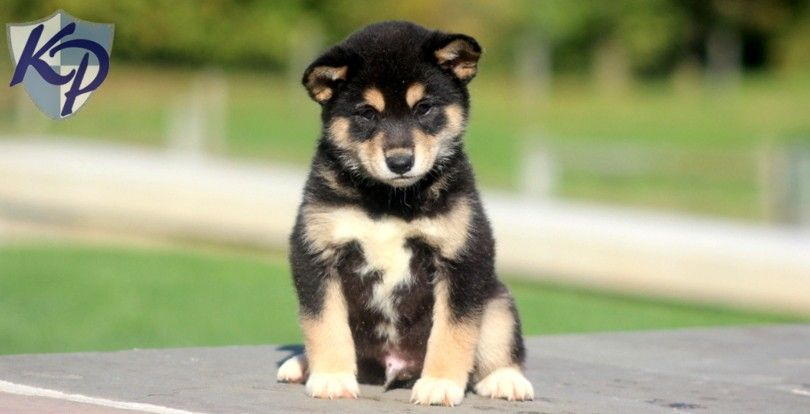 Puppy Finder Find Buy A Dog Today By Using Our Petfinder Puppies Shiba Inu Puppy Finder
