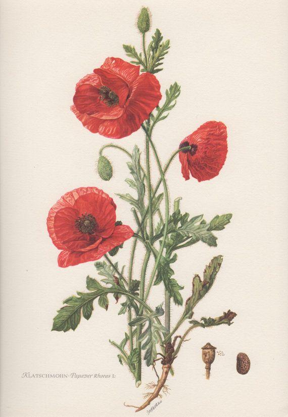 1954 Red Poppy Vintage Botanical Print Lithograph Papaver Rhoeas