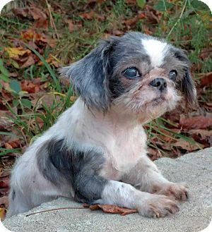 Mooresville Nc Shih Tzu Meet Snow White A Dog For Adoption