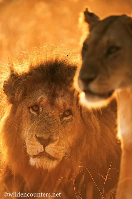 Male Lion looking longingly at Lioness between mating sessions, Masai Mara, Kenya. Photo by Paul and Paveena McKenzie.