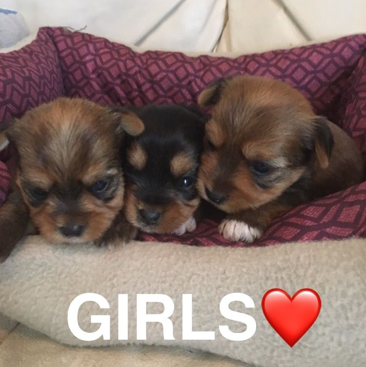 Yorkshire Terrier Puppy For Sale In Montgomery Al Adn 38272 On