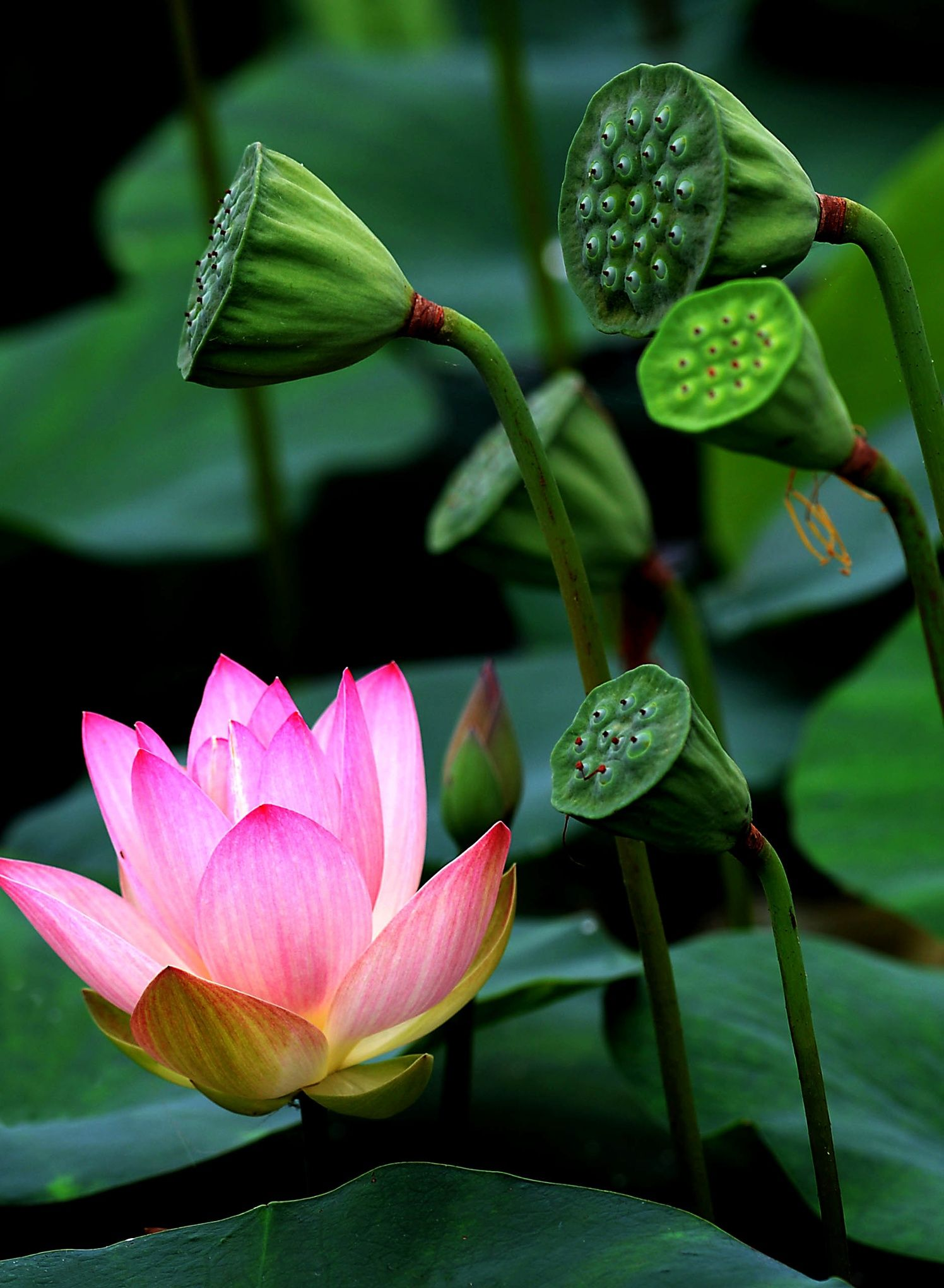 Lotus Flower Season In China Reaches Full Bloom In Pictures