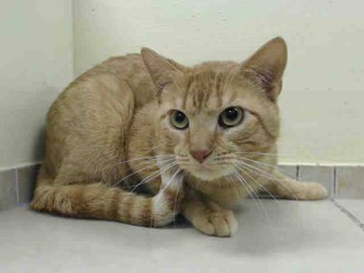 TO BE DESTROYED 2/27/14 ** PLEASE be William's rescue angel tonight!!! Save sweet William! Brooklyn Center  My name is WILLIAM. My Animal ID # is A0991746. I am a male org tabby domestic sh mix. The shelter thinks I am about 3 YEARS old.  I came in the shelter as a STRAY on 02/15/2014 from NY 11220, owner surrender reason stated was STRAY https://www.facebook.com/PetsOnDeathRow/photos/a.576546742357162.1073741827.155925874419253/756914787653689/?type=1&relevant_count=1