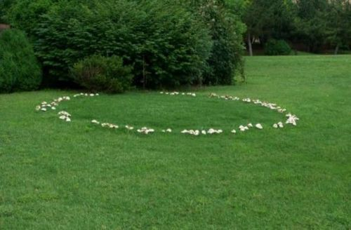 A fairy ring, also known as fairy circle, elf circle, elf ring, or pixie ring, is a naturally occurring ring or arc of mushrooms. The rings may grow to over 10 metres (33 ft) in diameter, and they become stable over time as the fungus grows and seeks food underground. They are found mainly in forested areas, but also appear in grasslands or rangelands. Or on my lawn. :P