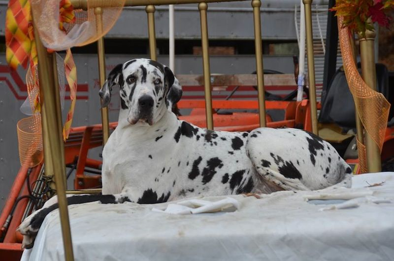 Good News Chaos The Great Dane Is Expecting Stay Tuned On Our