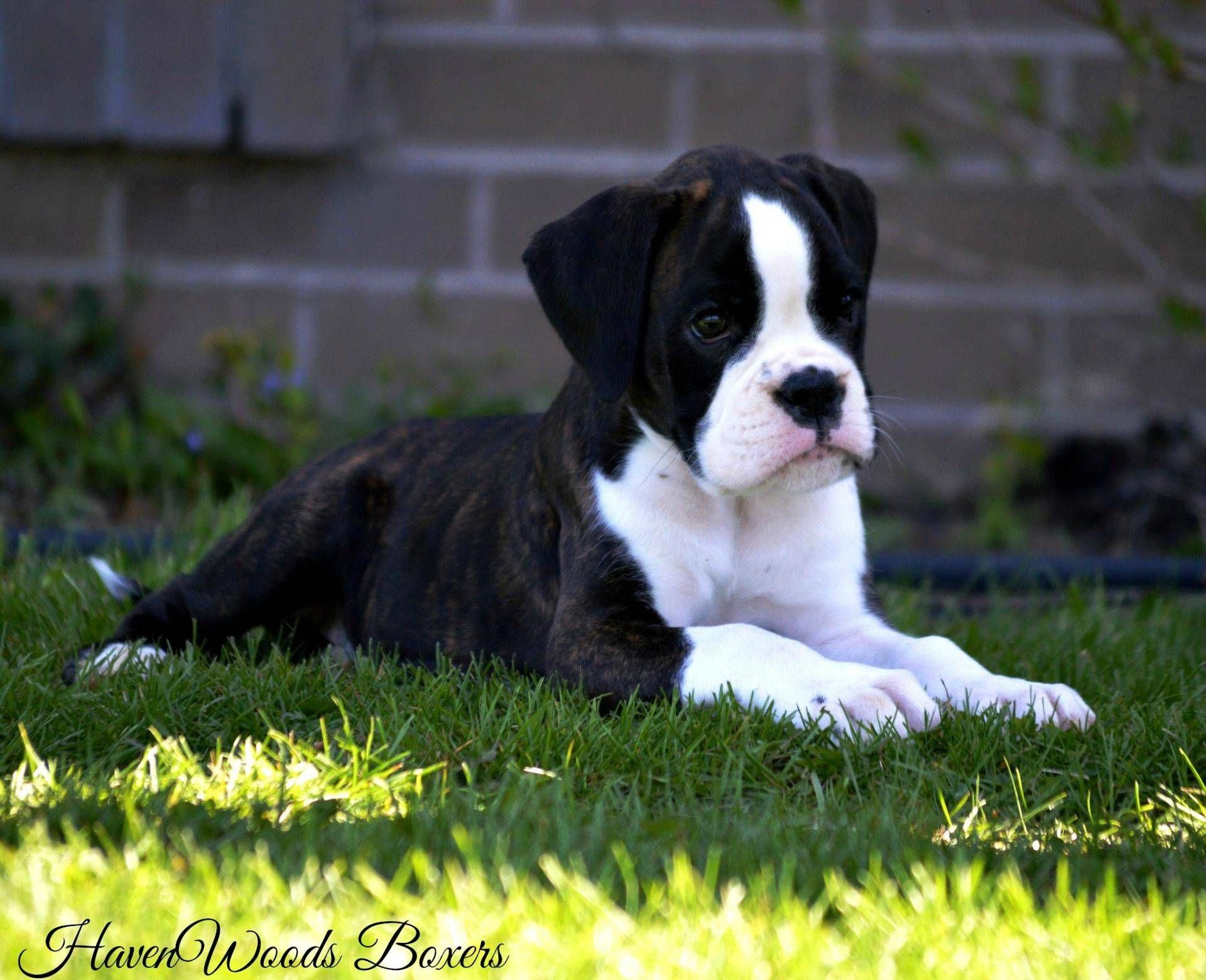 Boxer Energetic And Funny Brindle Boxer Puppies Boxer Puppies Boxer Puppies For Sale