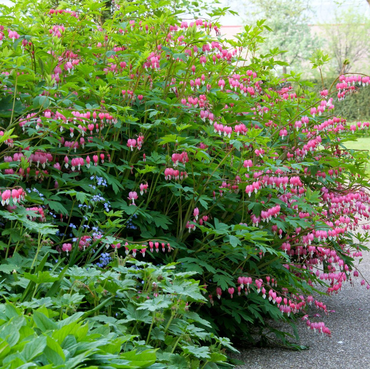 Five Star Plants for Your Flower Garden OldFashioned