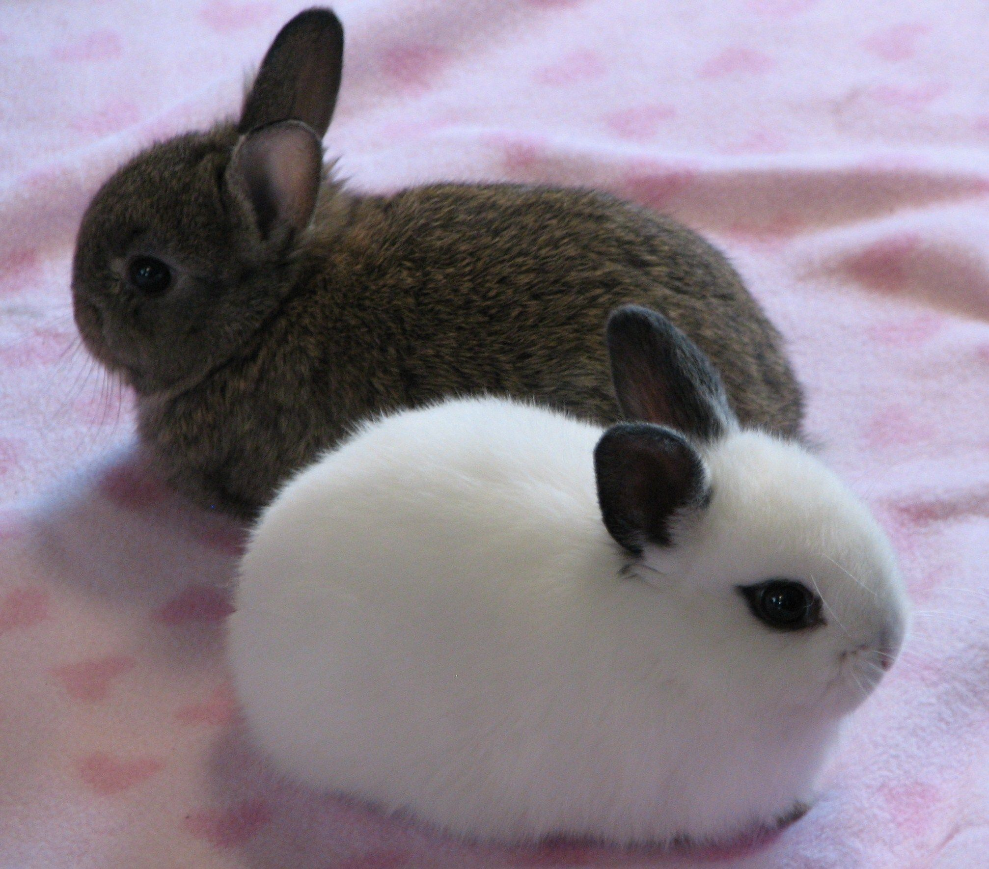 Dwarf Hotot rabbits are one of the less common breeds. The