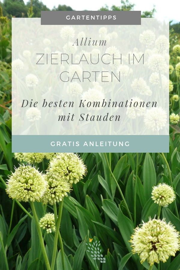 Allium - Zierlauch im Garten - Stilvolles Design – einfach gepflanzt