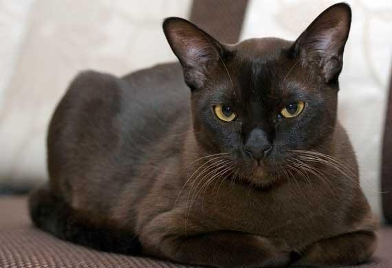 10 Hypoallergenic Cat Breeds Petmd Burmese Cat Cat Breeds Fluffy Cat