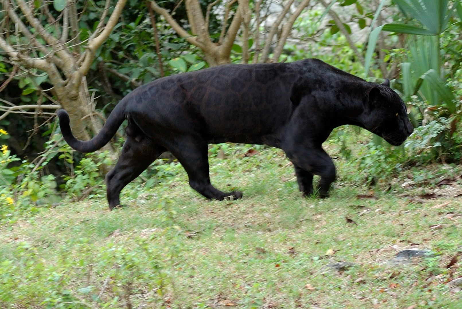 black puma habitat