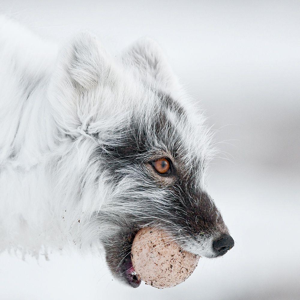 The-Arctic-Fox by  gorshkov_sergey