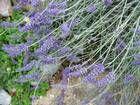 Sage, Lavender and Mint Desserts