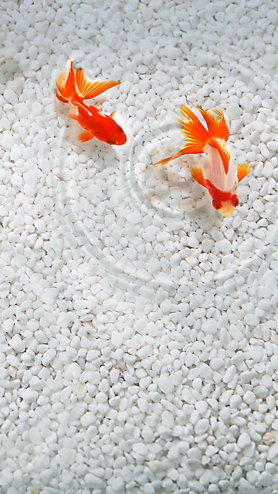 Cute Realistic Gold Fish iPhone Wallpaper. Tap to see more